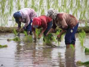 THAI CNX 08 Planting rice 2