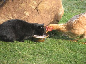 blog-cat-and-chook